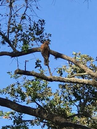 Red tailed hawk nesting in the park